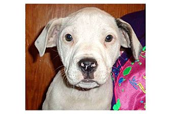 Pit Bull Terrier Mix Puppy for adoption in Pompton Lakes, New Jersey - Wiggles