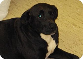 Labrador Retriever Mix Dog for adoption in Mt. Vernon, Illinois - Dream