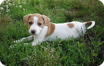 Beagle Mix Puppy for adoption in Adamsville, Tennessee - Juniper~pending