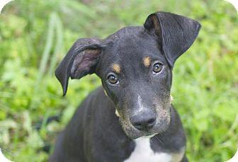 Doberman Pinscher Mix Puppy for adoption in Austin, Texas - Eli