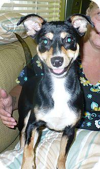 Miniature Pinscher Mix Dog for adoption in Eastpoint, Florida - Frankie