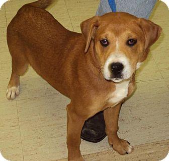 Shepherd (Unknown Type) Mix Dog for adoption in Mt. Vernon, Illinois - Becks