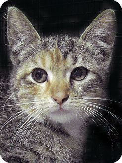 Calico Kitten for adoption in Brooklyn, New York - TT