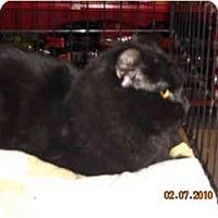 Adopt A Pet :: Shadow - Riverside, RI