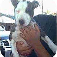 Adopt A Pet :: Lucky - dewey, AZ