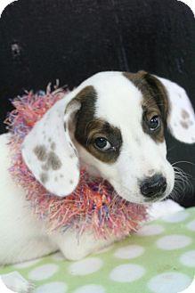 Australian Shepherd/English Pointer Mix Puppy for adoption in Greenville, Virginia - Jade
