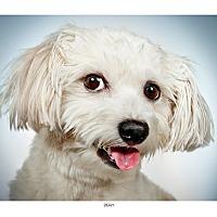 Adopt A Pet :: Ziggy - New York, NY