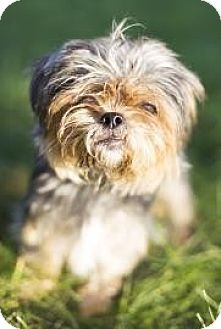 Silky Terrier Mix Dog for adoption in Lowell, Massachusetts - Lilly
