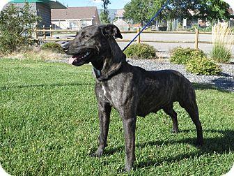 American Staffordshire Terrier Mix Dog for adoption in Cedaredge, Colorado - Gracie