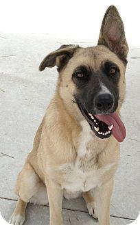 German Shepherd Dog/Anatolian Shepherd Mix Dog for adoption in Dripping Springs, Texas - Heidi