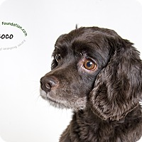 Adopt A Pet :: Coco - Rancho Mirage, CA