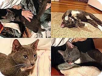 Domestic Shorthair Kitten for adoption in Ridgewood, New York - NIMBUS