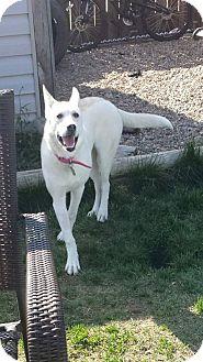 Husky/Shepherd (Unknown Type) Mix Puppy for adoption in Duchess, Alberta - Skye
