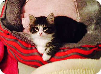 Domestic Mediumhair Kitten for adoption in Thornhill, Ontario - Melodie