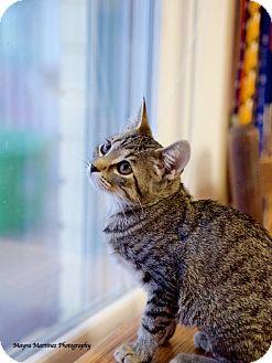 Domestic Shorthair Kitten for adoption in Marietta, Georgia - Summer