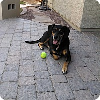 Adopt A Pet :: Bella - Only $45 adoption! - Litchfield Park, AZ