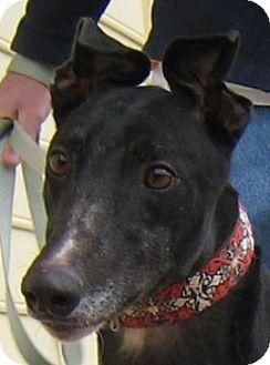 Greyhound Dog for adoption in Oak Ridge, North Carolina - Foxy