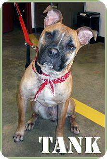 Terrier (Unknown Type, Medium)/Boxer Mix Dog for adoption in Columbia, Illinois - Tank