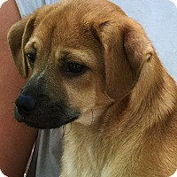 Adopt A Pet :: Cash - that face! - Stamford, CT