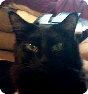Domestic Longhair Cat for adoption in Winchester, California - Om