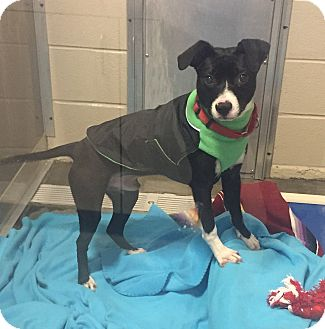 Labrador Retriever Mix Dog for adoption in Wilmington, Delaware - Cobbler