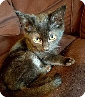 Domestic Shorthair Kitten for adoption in Hainesville, Illinois - Jinx