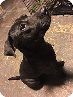 American Staffordshire Terrier Mix Dog for adoption in Walker, Louisiana - Chunk