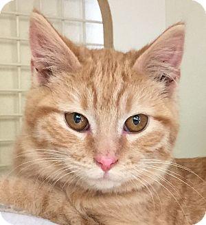 Domestic Shorthair Kitten for adoption in Meridian, Idaho - Theo