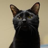 Domestic Shorthair Cat for adoption in Atlanta, Georgia - Itty Bitty151558