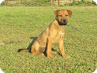 Boxer Mix Puppy for adoption in Bedminster, New Jersey - TYNE