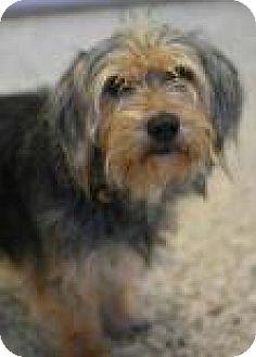Shih Tzu Mix Dog for adoption in Aiken, South Carolina - Benji
