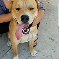 Adopt A Pet :: Malone - Santa Monica, CA