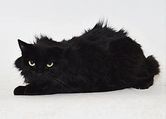 Domestic Longhair Cat for adoption in Fruit Heights, Utah - Susan