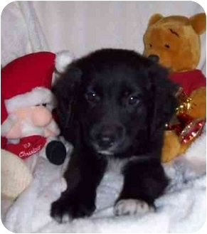 Flat-Coated Retriever/Setter (Unknown Type) Mix Puppy for adoption in McArthur, Ohio - Katie Rose