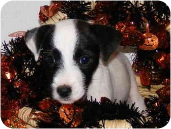 Jack Russell Terrier Puppy for adoption in Thomasville, North Carolina - Riley