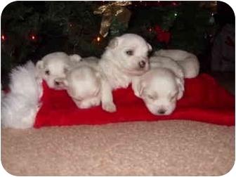 Maltese Mix Puppy for adoption in North Benton, Ohio - Chloe