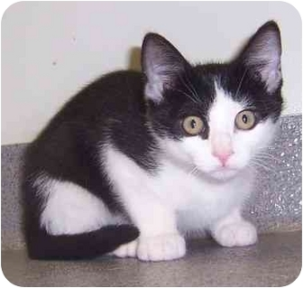Domestic Shorthair Kitten for adoption in Oklahoma City, Oklahoma - Johnny
