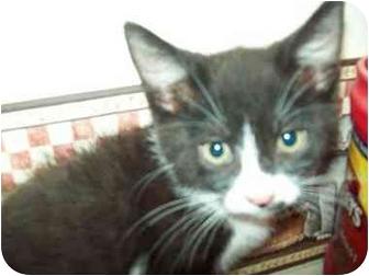 Domestic Mediumhair Kitten for adoption in Tipton, Iowa - Stash