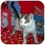 Photo 3 - Turkish Van Cat for adoption in Taylor Mill, Kentucky - Samson