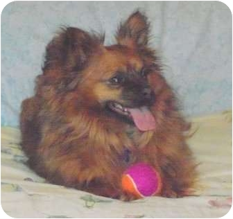 Pomeranian/Papillon Mix Dog for adoption in Hagerstown, Maryland - Pippi