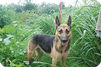 German Shepherd Dog Dog for adoption in Greeneville, Tennessee - Tabitha