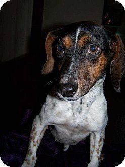 Dachshund/Beagle Mix Puppy for adoption in Lancaster, Ohio - Maylene