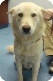 Husky/Labrador Retriever Mix Dog for adoption in Gainesville, Florida - Colt