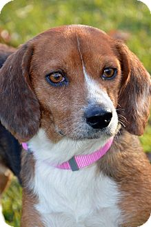 Beagle Dog for adoption in Clinton, Louisiana - Baby Girl