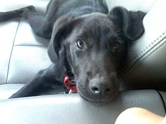 Labrador Retriever/Collie Mix Puppy for adoption in Youngstown, Ohio - Molly ~ Adoption Pending
