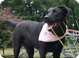 Labrador Retriever Mix Dog for adoption in Princeton, Kentucky - Maggie May