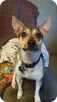 Jack Russell Terrier/Rat Terrier Mix Dog for adoption in Omaha, Nebraska - Bert