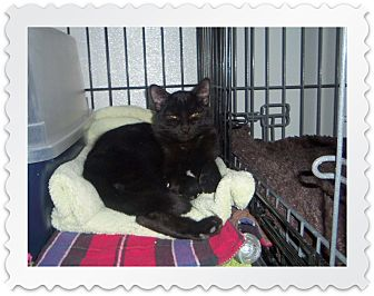 Domestic Shorthair Cat for adoption in Medford, Wisconsin - ETHAN