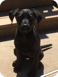 Labrador Retriever Mix Puppy for adoption in Marlton, New Jersey - Missy - 3 mo