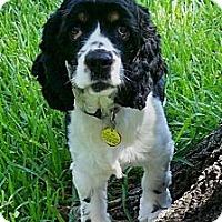 Adopt A Pet :: Scotty - Sugarland, TX